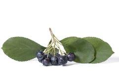 Μαύρος chokeberry - aronia Στοκ Φωτογραφίες