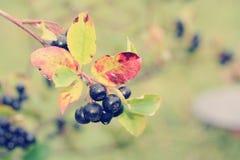 Μαύρος chokeberry, melanocarpa Aronia Αναδρομική επίδραση φίλτρων φωτογραφιών Στοκ Εικόνες