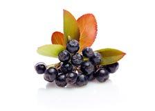 Μαύρος chokeberry melanocarpa Aronia με τα φύλλα Στοκ φωτογραφία με δικαίωμα ελεύθερης χρήσης