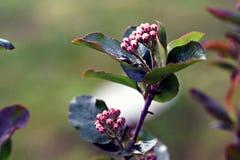 Μαύρος chokeberry, melanocarpa Aronia Στοκ φωτογραφία με δικαίωμα ελεύθερης χρήσης