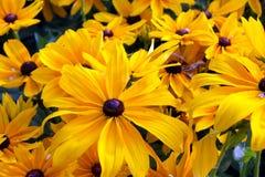 Μαύρος-Eyed κίτρινα λουλούδια της Susan Hirta Rudbeckia Στοκ Φωτογραφίες