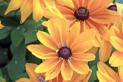 Μαύρος-Eyed κίτρινα λουλούδια της Susan Hirta Rudbeckia Στοκ φωτογραφία με δικαίωμα ελεύθερης χρήσης