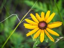 Μαύρος-eyed λουλούδι της Susan στη λίμνη Texoma, Τέξας στοκ φωτογραφία