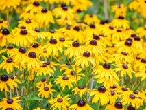 Μαύρος-Eyed λουλούδια Rudbeckia 2 της Susan Στοκ εικόνα με δικαίωμα ελεύθερης χρήσης
