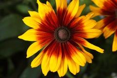 Μαύρος-eyed-Susan & x28 Rudbeckia hirta& x29  στοκ εικόνες με δικαίωμα ελεύθερης χρήσης
