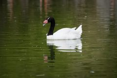 Μαύρος necked κύκνος που κολυμπά σε μια λίμνη στοκ εικόνες με δικαίωμα ελεύθερης χρήσης