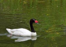 Μαύρος necked κύκνος που κολυμπά σε μια λίμνη στοκ φωτογραφίες με δικαίωμα ελεύθερης χρήσης