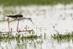 Μαύρος-necked ξυλοπόδαρο που εξερευνά για τα τρόφιμα στοκ φωτογραφία με δικαίωμα ελεύθερης χρήσης