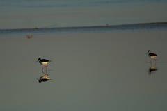 Μαύρος-necked ξυλοπόδαρα που επιτηρούν τη θάλασσα Salton shallows Στοκ Εικόνα