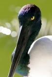 μαύρος necked πελαργός Στοκ εικόνα με δικαίωμα ελεύθερης χρήσης