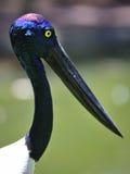 μαύρος necked πελαργός Στοκ εικόνες με δικαίωμα ελεύθερης χρήσης