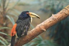 Μαύρος-necked Aracari Στοκ φωτογραφία με δικαίωμα ελεύθερης χρήσης
