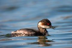 Μαύρος-necked grebe nigricollis Podiceps στο νερό Στοκ φωτογραφίες με δικαίωμα ελεύθερης χρήσης