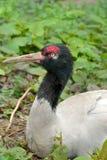 Μαύρος-necked nigricollis Grus γερανών Πορτρέτο Στοκ Φωτογραφία