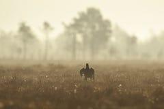 μαύρο άλμα αγριόγαλλων Στοκ Φωτογραφία