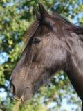 μαύρο άλογο παλαιό Στοκ Εικόνες