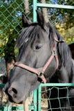 Μαύρο άλογο που φαίνεται σωστή κινηματογράφηση σε πρώτο πλάνο στοκ εικόνα με δικαίωμα ελεύθερης χρήσης