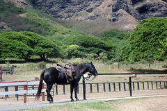 Μαύρο άλογο Στοκ εικόνα με δικαίωμα ελεύθερης χρήσης