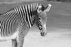 μαύρο άσπρο με ραβδώσεις Στοκ Εικόνες