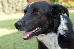 μαύρο άσπρο πορτρέτο σκυλιών Στοκ Φωτογραφία