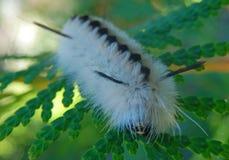 Μαύρο άσπρο συγκεχυμένο τριχωτό φτερό καμπιών όπως το σκώρο τουφών χόρτου άσπρων καρυδιών δηλητηριώδη Στοκ Εικόνα