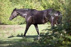 Μαύρο άλογο που περιμένει έξω από το πορτρέτο Στοκ Εικόνες