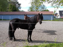 Μαύρο άλογο (drafr άλογο) Στοκ Φωτογραφία