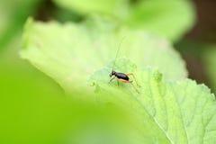 Μαύρο έντομο γρύλων Στοκ εικόνα με δικαίωμα ελεύθερης χρήσης