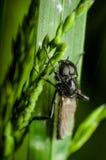 Μαύρο έντομο (Bibionidae) στο πράσινο φύλλο Στοκ εικόνα με δικαίωμα ελεύθερης χρήσης