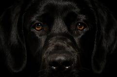 Μαύρο έξυπνο πρόσωπο του Λαμπραντόρ που φαίνεται ευθύ Στοκ Φωτογραφία