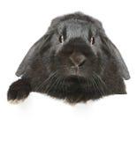μαύρο έχον νώτα κουνέλι πορ&t Στοκ Εικόνα
