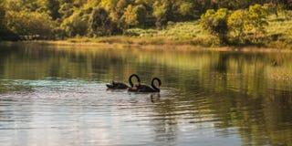 Μαύρο δίδυμο κύκνων Στοκ φωτογραφία με δικαίωμα ελεύθερης χρήσης