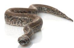μαύρο αίμα Μπόρνεο python Στοκ Εικόνες