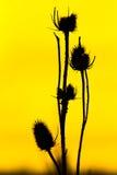 Μαύρο αγκάθι Στοκ Εικόνες