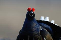 μαύρο αγριόγαλλων Στοκ Εικόνα