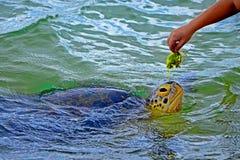Μαύρο αρσενικό χέρι και μεγάλη χελώνα στο νερό στο ερευνητικό πρόγραμμα συντήρησης χελωνών θάλασσας σε Bentota στοκ εικόνα με δικαίωμα ελεύθερης χρήσης