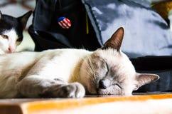 1 μαύρο γατών 2 λευκό έκδοσης γατακιών χρώματος ημίτονο Στοκ εικόνες με δικαίωμα ελεύθερης χρήσης