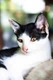 1 μαύρο γατών 2 λευκό έκδοσης γατακιών χρώματος ημίτονο Στοκ φωτογραφία με δικαίωμα ελεύθερης χρήσης