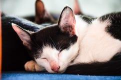 1 μαύρο γατών 2 λευκό έκδοσης γατακιών χρώματος ημίτονο Στοκ φωτογραφίες με δικαίωμα ελεύθερης χρήσης