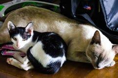 1 μαύρο γατών 2 λευκό έκδοσης γατακιών χρώματος ημίτονο Στοκ Εικόνα