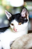 1 μαύρο γατών 2 λευκό έκδοσης γατακιών χρώματος ημίτονο Στοκ Εικόνες