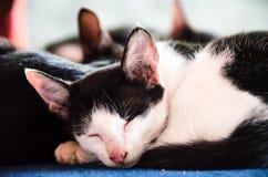 1 μαύρο γατών 2 λευκό έκδοσης γατακιών χρώματος ημίτονο Στοκ Φωτογραφία