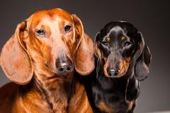 μαύρο γκρίζο θέτοντας κόκκινο σκυλιών dachshund Στοκ εικόνες με δικαίωμα ελεύθερης χρήσης
