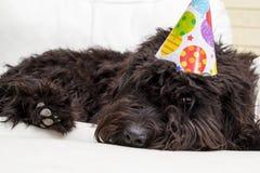 Μαύρο γούνινο σκυλί που βρίσκεται στην άσπρη καρέκλα που φορά ένα καπέλο γιορτών γενεθλίων Στοκ Εικόνες