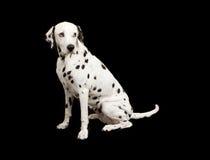 μαύρο δαλματικό σκυλί ανασκόπησης Στοκ Φωτογραφίες