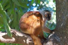 μαύρο ενδημικό macaco Μαδαγασκάρη κερκοπίθηκων eulemur antananarivo στον τρωτό ζωολογικό κήπο Στοκ Φωτογραφία