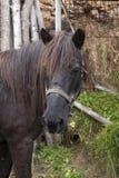μαύρο επικεφαλής άλογο Στοκ Εικόνες