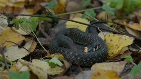Μαύρο ερπετό που βρίσκεται στα φύλλα πτώσης Δασική ανασκόπηση φθινοπώρου Σκηνή αγριοτήτων απόθεμα βίντεο