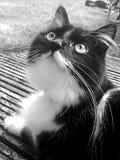 μαύρο λευκό γατών στοκ φωτογραφία με δικαίωμα ελεύθερης χρήσης