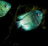 μαύρο λευκό γραμμών ψαριών σχεδίων ενυδρείων Στοκ Εικόνα